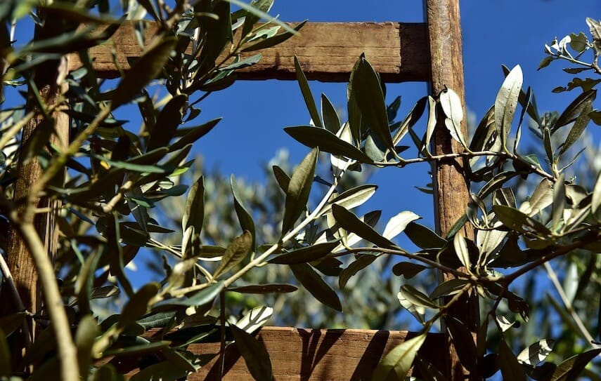 Olive bunch next to a wooden trellis