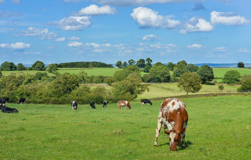 Cows Grazing in a green paddock under a light blue sky with fluffy white clouds