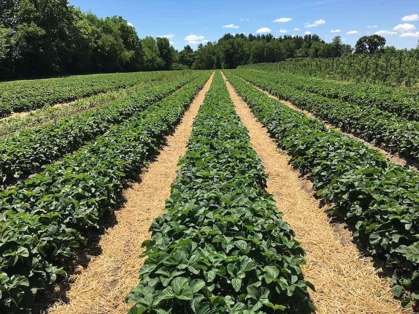 Field of Strawberries