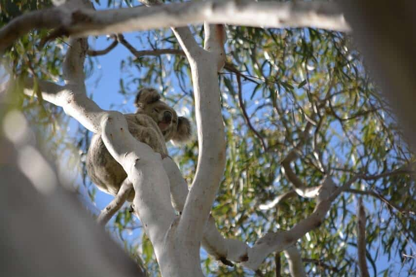 Koala in a tree at Kennett River