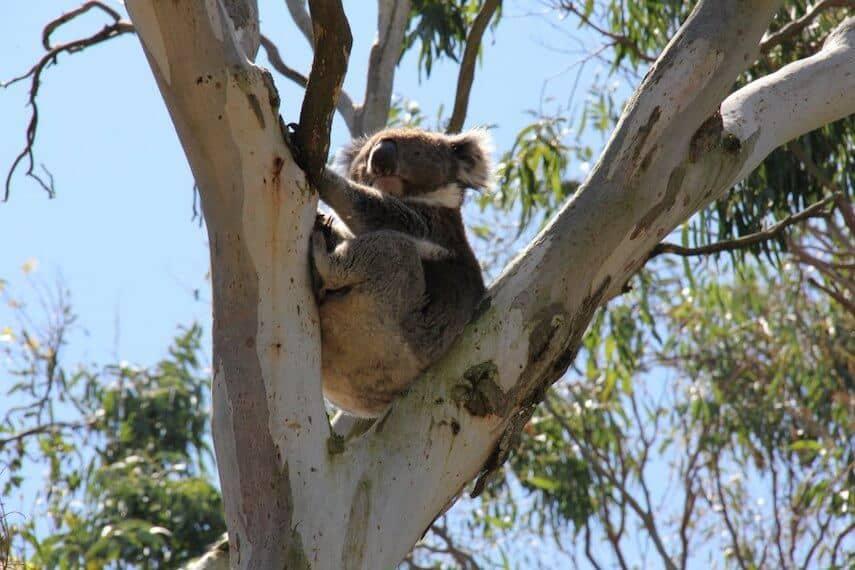 Koala sitting in a tree at Kennett River on the Great Ocean Road
