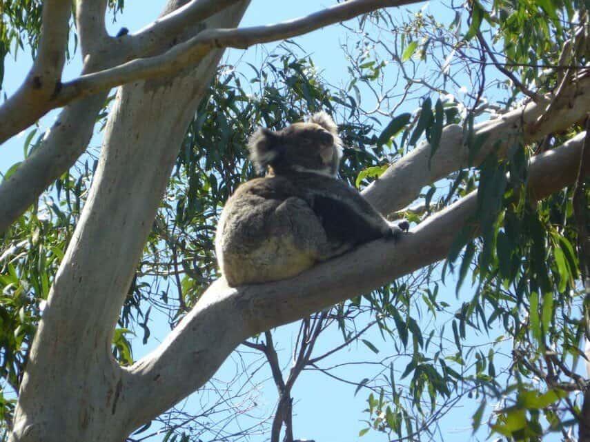 Koala on the Great Ocean Road