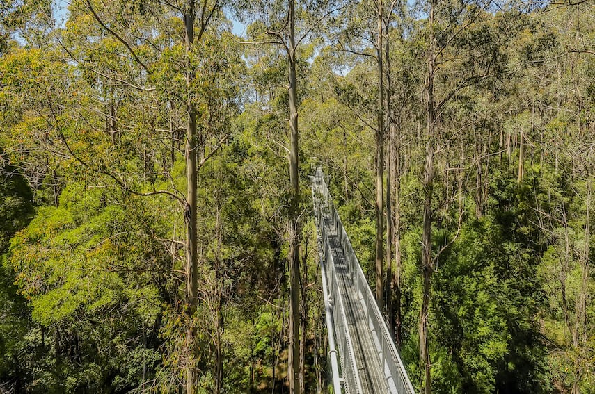 Metal Elevated Walkway between the Trees at the Otway Fly Treetop Walk