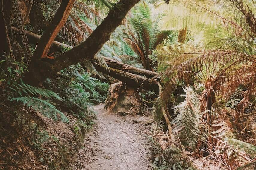 Tree lined trail in the Otway National Park Great Ocean Road