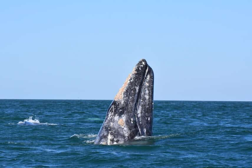 Southern Right Whale in the Ocean off the Great Ocean Road