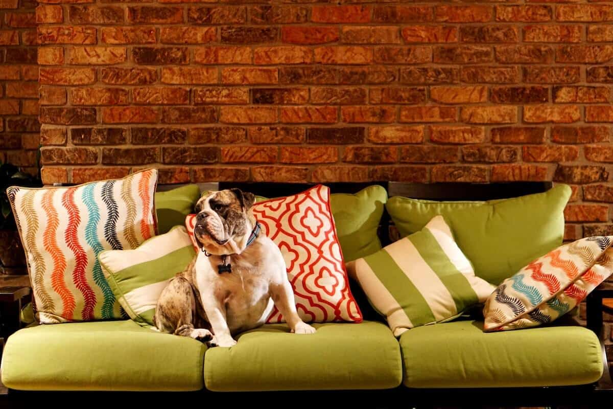 Pet Friendly Accommodation Great Ocean Road cover image featuring a bulldog sat in the centre of a green sofa with striped cushions in front of a brick wall