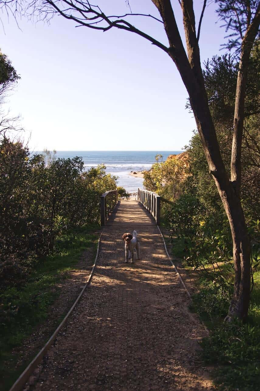 Dog standing in the middle of the path leading down to Point Addis Great Ocean Road