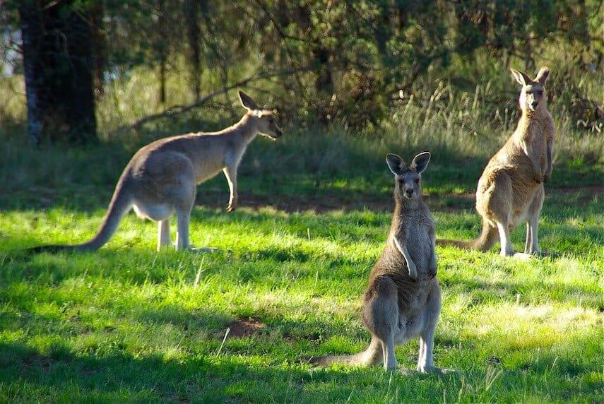 Kangaroos on the Great Ocean Walk