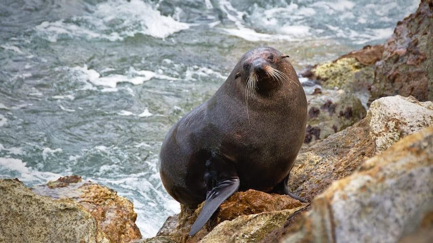 Seal on the rocks at Shelly Beach
