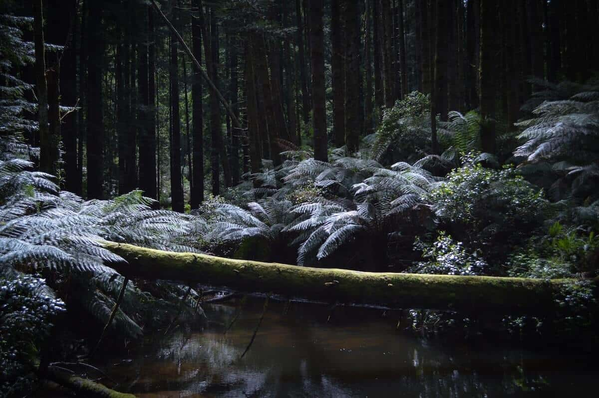 How to Explore the Great Otway National Park Guide cover photo of a large fallen tress lying across a dark patch of water surrounded by redwood trees